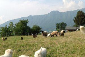cuccioli di pastore M. Abruzzese